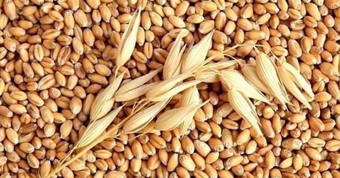 Cỏ lúa mì có đặc tính kháng khuẩn, kháng viêm