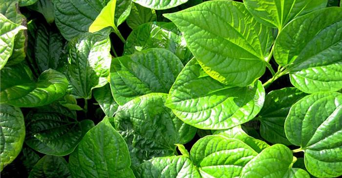 Rễ lá lốt có hàm lượng thành phần bezylacetat cao