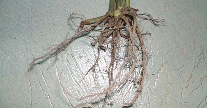 Bài thuốc từ rễ lá lốt